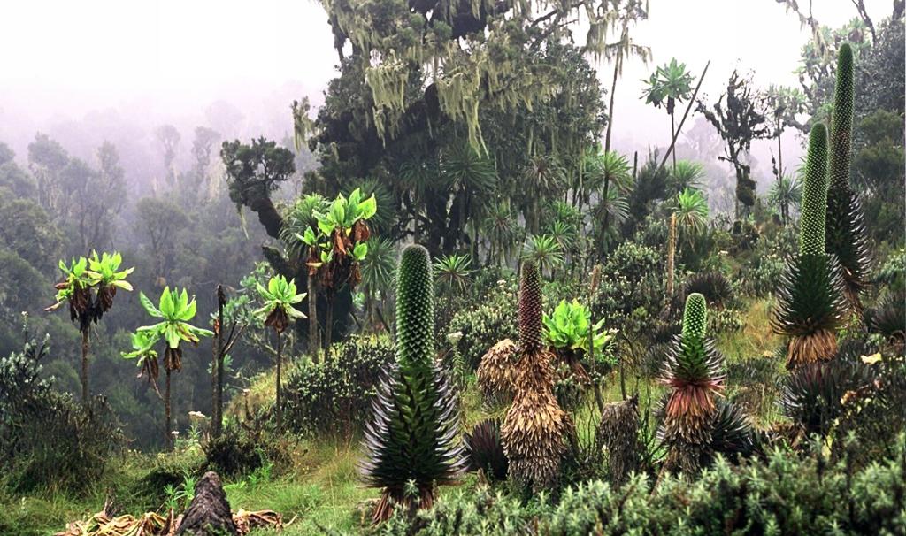 Ruwenpflanzen